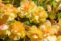 Beautiful yellow hanging girdons in Bloom royalty free stock photography