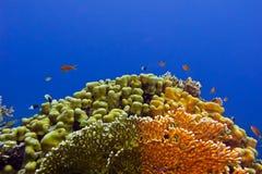 Beautiful yellow hard coral at the bottom of tropical sea Stock Image