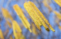 Hazel flowers - spring, pollen concept Royalty Free Stock Image