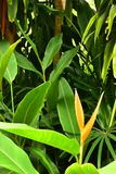 Beautiful Yellow Heliconia with Leaves on the side way stock photos
