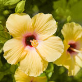 beautiful yellow hibiscus flower Royalty Free Stock Photo