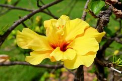 Beautiful Yellow Hibiscus Flower  -Closeup Stock Photo
