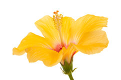 Beautiful yellow hibiscus isolated Royalty Free Stock Photography