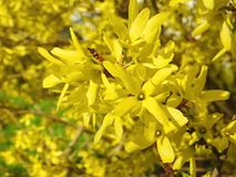 Beautiful yellow honeysuckle , Lithuania Royalty Free Stock Images