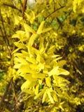 Beautiful yellow honeysuckle , Lithuania Royalty Free Stock Photo