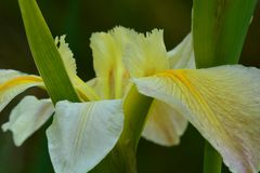 A beautiful yellow iris; close-up photo on a soft dark-green background; soft light and colours; unusual point of view. Close-up photo; soft yellow colours of stock photos
