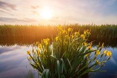 Beautiful yellow iris flowers in the rays of the dawn sun. Royalty Free Stock Photos