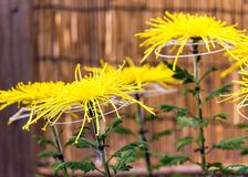 Beautiful yellow Japan Chrysanthemums in autumn. With selective focus. Close-up. Beautiful yellow Japan Chrysanthemums in autumn. With selective focus. Close-up Royalty Free Stock Images
