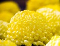 Beautiful yellow Japan Chrysanthemums in autumn. With selective focus. Close-up. Beautiful yellow Japan Chrysanthemums in autumn. With selective focus. Close-up Stock Images