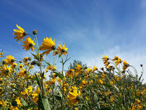 Beautiful yellow jerusalem artichoke flowers and blue cloudy sky stock photo