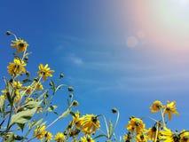 Beautiful yellow jerusalem artichoke flowers and blue sky Royalty Free Stock Photo