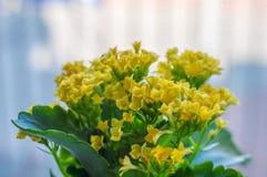 Yellow Kalanchoe blossfeldiana flowers Royalty Free Stock Images