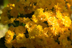 Beautiful yellow kalanchoe. In the foreground is beautiful yellow kalanchoe Stock Image