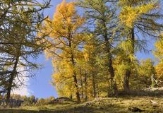 Beautiful yellow larches in autumn in alpine forest. Beautiful and big yellow larches in autumn in alpine forest stock image