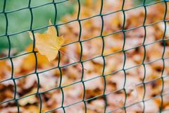 Beautiful yellow leaf etangled in net. Concept of decoration and design concept. Metal net with autumn foliage. November time. Bar. Rier stock image