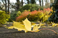 Beautiful, yellow leaf of a maple on the earth. Royalty Free Stock Photo