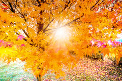 Beautiful yellow leafs on autumn and sun rays in soft focus and royalty free stock images