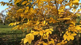 Beautiful yellow leafs on autumn tree in the park.  stock footage