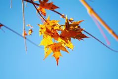 Beautiful yellow leaves Royalty Free Stock Photos