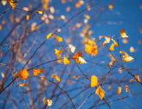 Beautiful yellow leaves on a birch Stock Image