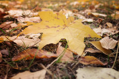 Beautiful yellow leaves of maple in macro fall on earth Royalty Free Stock Photos