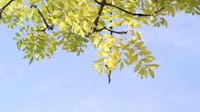 Beautiful yellow leaves in the park, Scotland, footage stock video footage