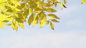 Beautiful yellow leaves in the park, Scotland, footage. Beautiful yellow leaves in the park in Scotland, footage stock footage