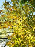 Colorful autumn tree leaves in park, Lithuania stock image