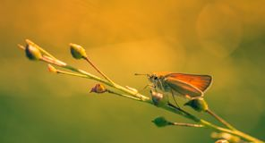 Brown butterfly insect on a plant in color close up. Beautiful yellow light reminiscent of summer with this orange and green colours royalty free stock photography