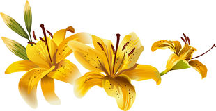 Beautiful yellow lilies Royalty Free Stock Photography