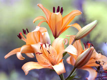 Beautiful Yellow Lilies Stock Images