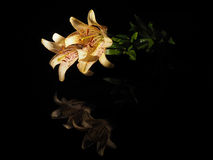 Beautiful yellow lilies on a black background Royalty Free Stock Photo