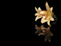Beautiful yellow lilies on a black background Royalty Free Stock Images