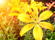 Beautiful yellow lilies on flowerbed Stock Photography