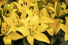 Beautiful yellow lilies in the park stock images