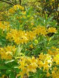 Beautiful yellow lilies with small green leaves against the background of trees. For your design stock photo