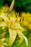 Beautiful yellow lilly flower outdoors Stock Photography