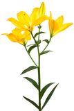 Beautiful yellow lily Stock Images