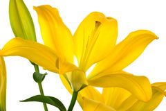 Beautiful yellow lily Stock Photos
