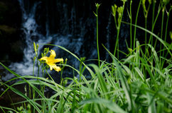 Beautiful yellow lily. A yellow lily on a background of blue waterfall Royalty Free Stock Images