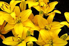 Beautiful Yellow Lily Stock Photos