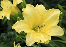 Beautiful yellow lily close-up. Stock Photography