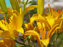 Beautiful yellow lily closeup Stock Photography
