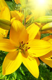Beautiful yellow lily Stock Photo
