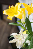 Beautiful yellow lily flower, gentle white flower over simple background Royalty Free Stock Image