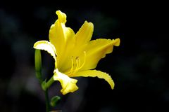 A beautiful yellow lily Royalty Free Stock Photo