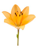Beautiful Yellow Lily Isolated on White Background Stock Photos