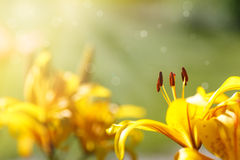 Beautiful yellow lily Royalty Free Stock Photos