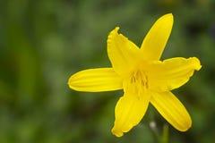 Beautiful yellow lily Royalty Free Stock Image