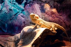 A beautiful yellow lizard in colorful environment. A beautiful yellow lizard in colorful zoo environment royalty free stock images